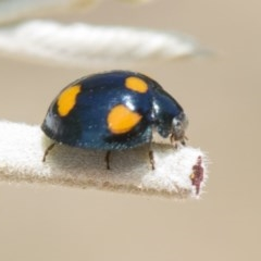 Orcus australasiae (Orange-spotted Ladybird) at Mulligans Flat - 22 Feb 2019 by AlisonMilton