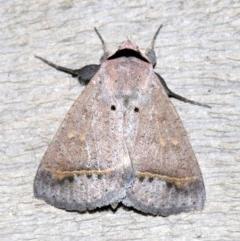 Pantydia capistrata (An Erebid moth) at Rosedale, NSW - 15 Feb 2019 by jbromilow50