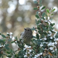 Acanthiza pusilla (Brown Thornbill) at Shoalhaven Heads Walking Track - 22 Sep 2014 by Andrejs