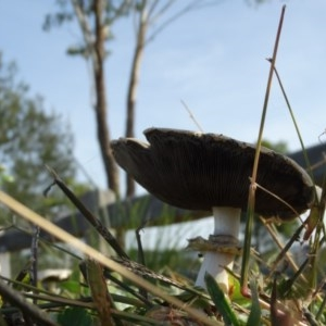 Agaricus sp. at Berry, NSW - 21 Apr 2014