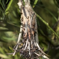 Psychidae sp. (family) (Unidentified case moth or bagworm) at Higgins, ACT - 23 Feb 2019 by AlisonMilton