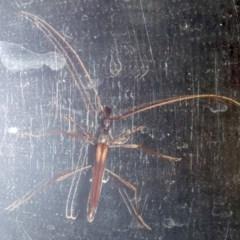 Rhinophthalmus sp. (Longhorn beetle) at Rosedale, NSW - 16 Feb 2019 by jbromilow50
