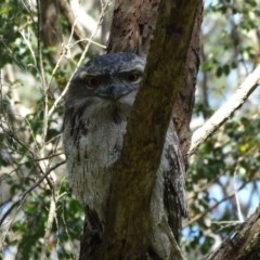 Podargus strigoides (Tawny Frogmouth) at Shoalhaven Heads Walking Track - 3 Oct 2014 by Andrejs