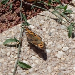 Junonia villida (Meadow Argus) at City Renewal Authority Area - 23 Feb 2019 by JanetRussell