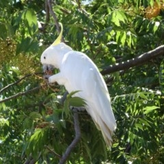Cacatua galerita (Sulphur-crested Cockatoo) at City Renewal Authority Area - 23 Feb 2019 by JanetRussell