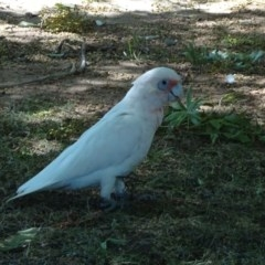 Cacatua tenuirostris X sanguinea (Hybrid) (Long-billed X Little Corella (Hybrid)) at City Renewal Authority Area - 23 Feb 2019 by JanetRussell