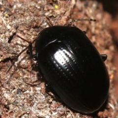 Amarygmus sp. (A Darkling beetle) at Rosedale, NSW - 14 Feb 2019 by jbromilow50