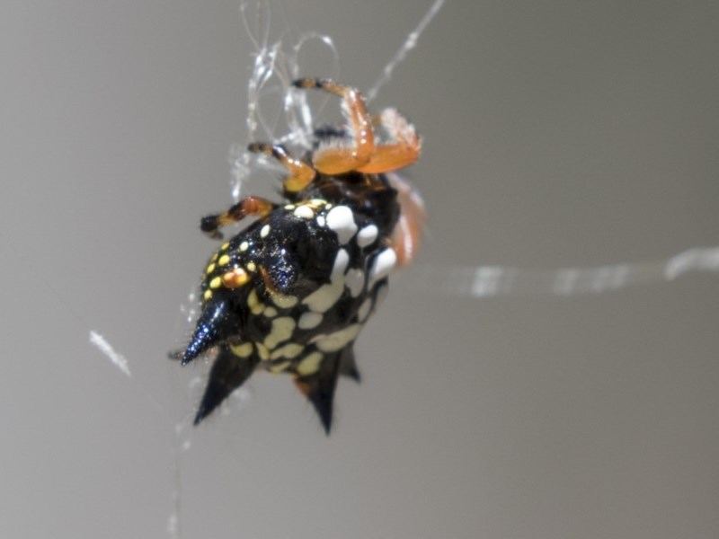 Austracantha minax at Mulligans Flat - 22 Feb 2019