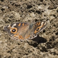 Junonia villida (Meadow Argus) at Mulligans Flat - 22 Feb 2019 by Alison Milton