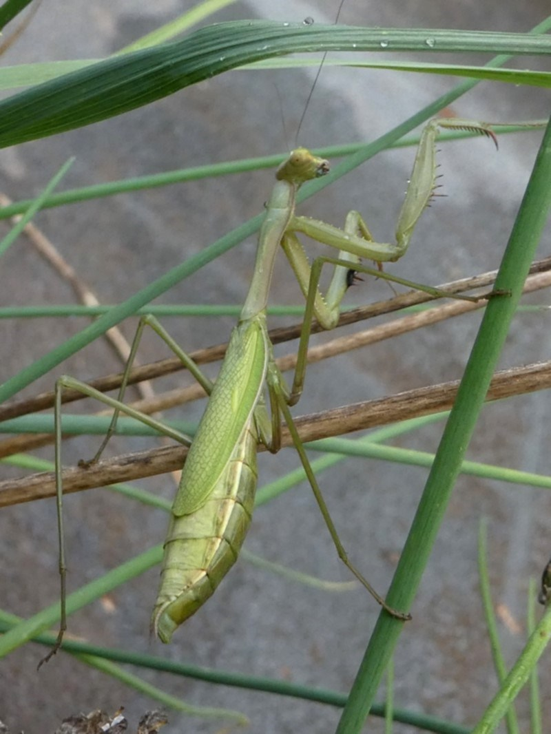 Pseudomantis albofimbriata at Kambah, ACT - 18 Feb 2019