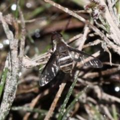 Villa sp. (genus) (Unidentified Villa bee fly) at Rob Roy Range - 23 Feb 2019 by HarveyPerkins