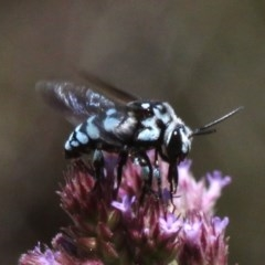 Thyreus caeruleopunctatus (Chequered cuckoo bee) at Rob Roy Range - 23 Feb 2019 by HarveyPerkins