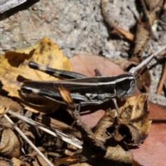 Macrotona australis (Common Macrotona Grasshopper) at Rob Roy Range - 23 Feb 2019 by HarveyPerkins