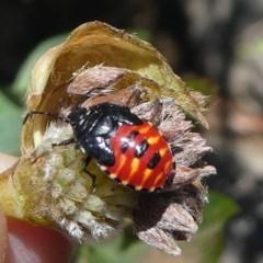 Pentatomoidea (superfamily) (Unidentified Shield or Stink bug) at Namadgi National Park - 23 Feb 2019 by HarveyPerkins