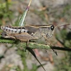 Phaulacridium vittatum (Wingless Grasshopper) at Namadgi National Park - 23 Feb 2019 by HarveyPerkins