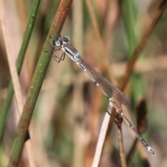 Austrolestes analis (Slender Ringtail) at Namadgi National Park - 23 Feb 2019 by HarveyPerkins