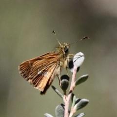 Dispar compacta (Barred skipper) at Namadgi National Park - 23 Feb 2019 by HarveyPerkins