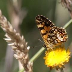 Oreixenica lathoniella (Silver Xenica) at Namadgi National Park - 23 Feb 2019 by HarveyPerkins