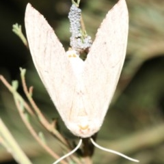 Lepidoptera sp. unclassified ADULT moth (Lepidoptera sp. unclassified ADULT moth) at Mount Ainslie - 19 Feb 2019 by jbromilow50