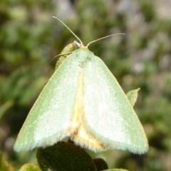 Mixochroa gratiosata (A geometerid moth) at Namadgi National Park - 23 Feb 2019 by Christine