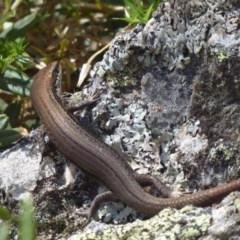 Pseudemoia entrecasteauxii (Woodland Tussock-skink) at Namadgi National Park - 23 Feb 2019 by Christine