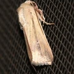 Leucania diatrecta (A Noctuid Moth) at Rosedale, NSW - 14 Feb 2019 by jbromilow50