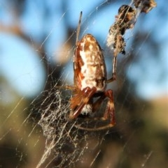 Nephila edulis (Golden orb weaver) at Mount Painter - 23 Feb 2019 by CathB
