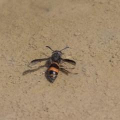 Eumeninae sp. (subfamily) (Unidentified Potter wasp) at Mulligans Flat - 22 Feb 2019 by Alison Milton