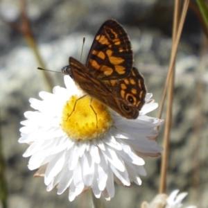 Oreixenica correae at Namadgi National Park - 23 Feb 2019