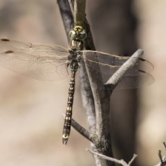 Adversaeschna brevistyla (Blue-spotted Hawker) at Amaroo, ACT - 22 Feb 2019 by Alison Milton