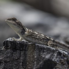Amphibolurus muricatus (Jacky Lizard) at Rendezvous Creek, ACT - 3 Feb 2019 by dannymccreadie