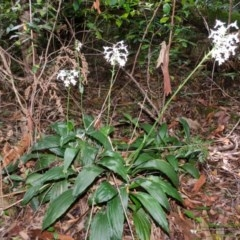 Calanthe triplicata (Christmas Orchid) at Termeil State Forest - 30 Jan 2015 by AlanS