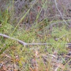 Caleana major (Large Duck Orchid) at Jerrawangala National Park - 25 Dec 2015 by AlanS