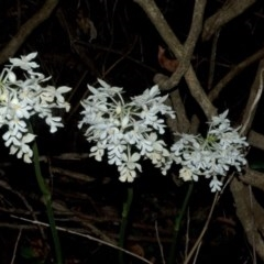 Calanthe triplicata (Christmas Orchid) at Termeil State Forest - 27 Jan 2012 by AlanS