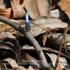Orthetrum caledonicum (Blue Skimmer) at Ulladulla, NSW - 12 Feb 2019 by Charles Dove