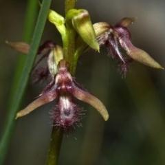 Genoplesium fimbriatum (Fringed Midge Orchid) at Jerrawangala National Park - 3 Feb 2012 by AlanS