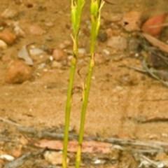 Cryptostylis hunteriana (Leafless Tongue Orchid) at Jerrawangala National Park - 2 Feb 2008 by AlanS