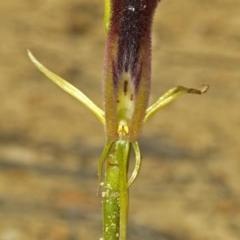 Cryptostylis hunteriana (Leafless Tongue Orchid) at Jerrawangala National Park - 29 Dec 2008 by AlanS