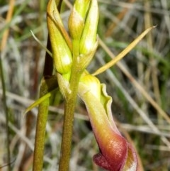 Cryptostylis subulata (Cow Orchid) at Jervis Bay National Park - 18 Nov 2005 by AlanS
