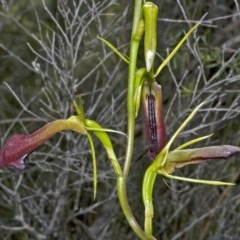 Cryptostylis subulata (Cow Orchid) at Jervis Bay National Park - 29 Dec 2008 by AlanS