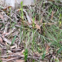 Cryptostylis subulata (Cow Orchid) at Sanctuary Point, NSW - 6 Nov 2015 by AlanS