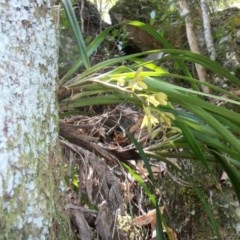 Cymbidium suave (Snake Orchid, Boat Lip Orchid) at Bugong National Park - 12 Nov 2017 by AlanS