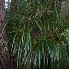 Cymbidium suave (Snake Orchid, Boat Lip Orchid) at Woollamia, NSW - 16 Nov 2012 by AlanS