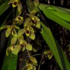 Cymbidium suave (Snake Orchid, Boat Lip Orchid) at Callala Bay, NSW - 21 Nov 2014 by AlanS