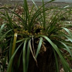 Cymbidium suave (Snake Orchid, Boat Lip Orchid) at Kings Point, NSW - 1 Nov 2008 by AlanS
