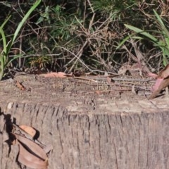 Cymbidium suave (Snake Orchid, Boat Lip Orchid) at Tomerong, NSW - 2 Dec 2012 by AlanS