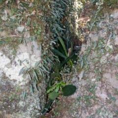 Dendrobium speciosum var. speciosum (Sydney Rock orchid) at Bomaderry Creek - 5 Apr 2016 by AlanS