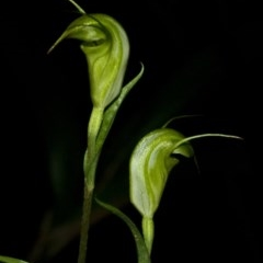 Pterostylis alveata (Coastal Greenhood) at Bugong National Park - 5 Apr 2011 by AlanS