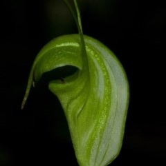 Pterostylis alveata (Coastal Greenhood) at Bugong National Park - 7 Apr 2011 by AlanS