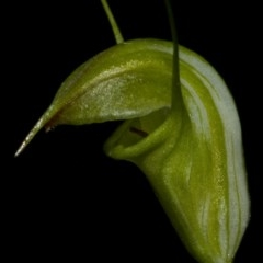 Pterostylis alveata (Coastal Greenhood) at Bugong National Park - 11 May 2010 by AlanS